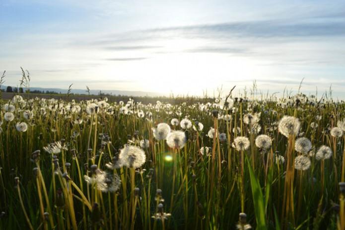 meadow-spring-dandelion